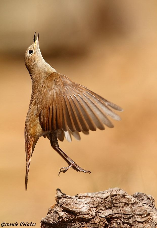 Nightingale flight - This image I have taken today morning after having done about 3 assignments. Worms in love with this singer not reciste thickets when you hang one over the host of the day, forcing it to jump from that base to the meeting with his breakfast. Enjoy it!! canon d7 , tele canon 300 mm is 2,8 , tumbing comp. exp. -1/3 ,f 5,6 , 1/1600 , iso 400 full frame