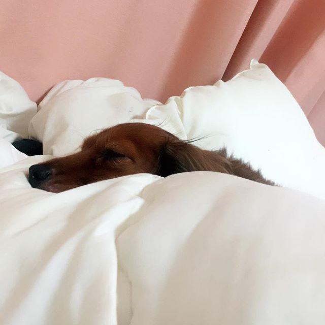 布団にくるまれ 居眠り中〜💕💤 、 #ミニチュアダックス#ミニチュアダックスフンド#ミニチュア#ダックスフンド#ダックス#カニヘン#カニヘンダックス#かわいい#可愛すぎる#ラムちゃん#犬#愛犬#dog#ちわわ#チワワ#ここなちゃん#ここちゃん#いぬバカ部 #いぬなしでは生きていけません