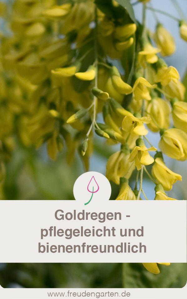 Goldregen \u2013 Baum für kleine Gärten Garten gestalten Pinterest - pflegeleichter garten anlegen