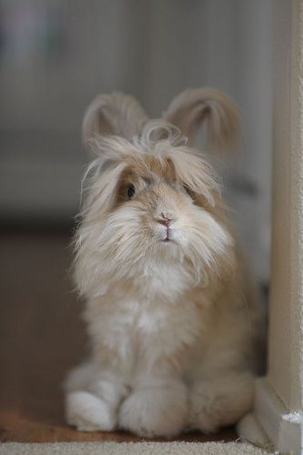 angora rabbit | Claire in the Kitchen by NoahPete