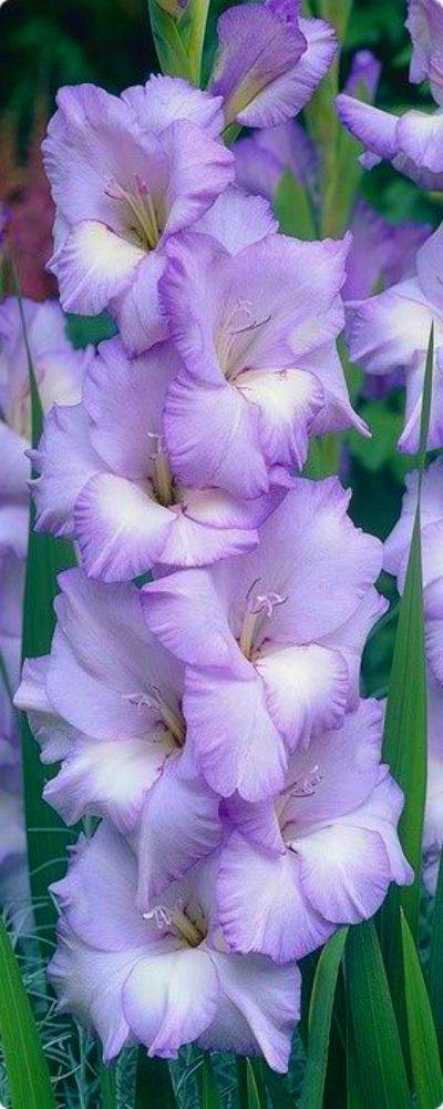 ♥•♥lavender Gladiolus♥•♥