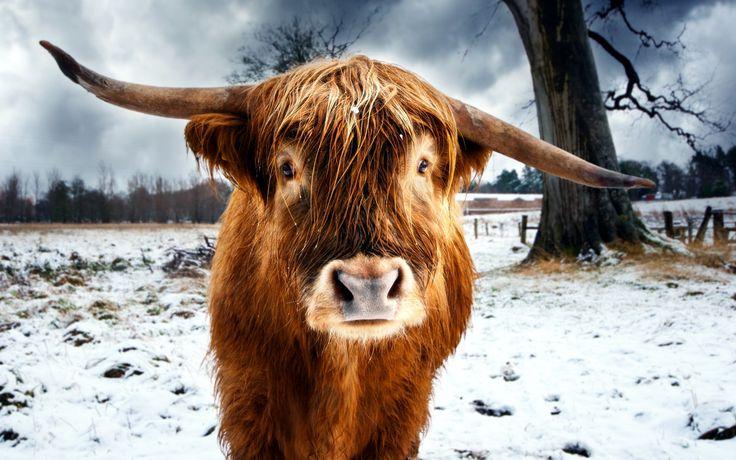 Wallpaper Desktop Background Cow  (7)