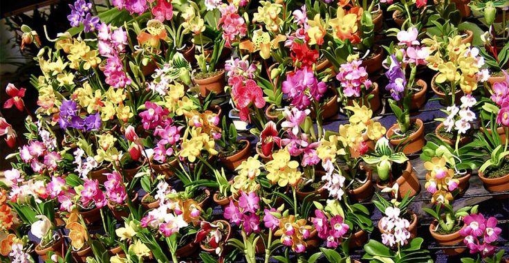 Ce pământ şi ce ghivece le plac orhideelor? | Paradis Verde