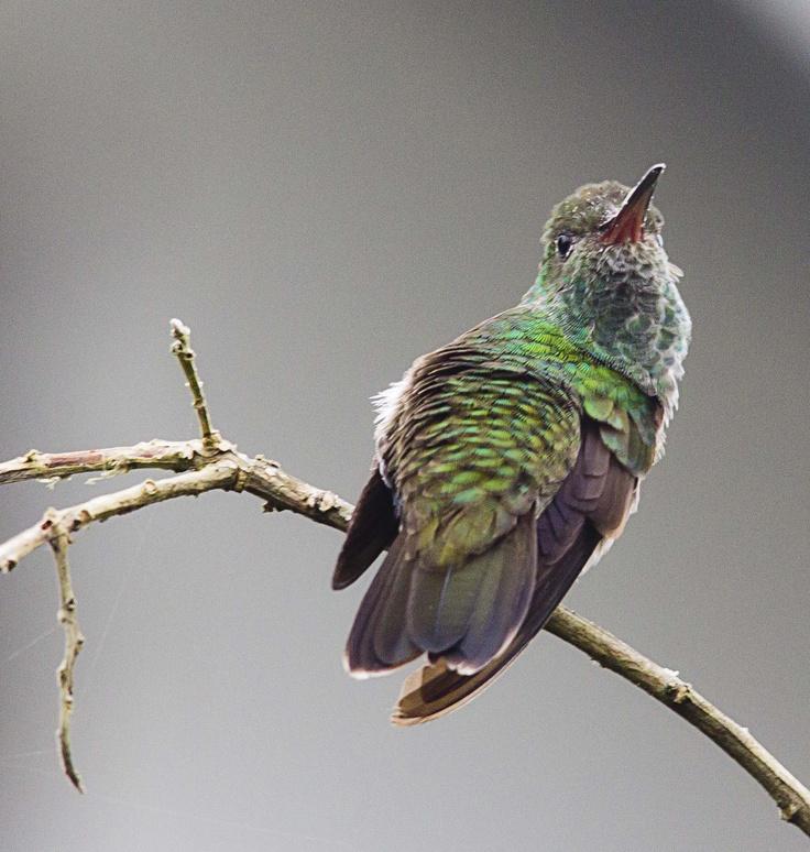 Kolibrie in de tuin van surinamevakantiehuisje