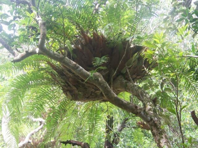 Birdnest Fern - Daintree Rainforest