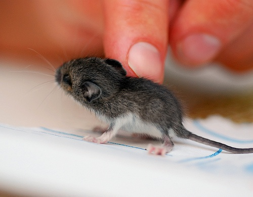 BABY MOUSE!: it's head is bigger than its body!