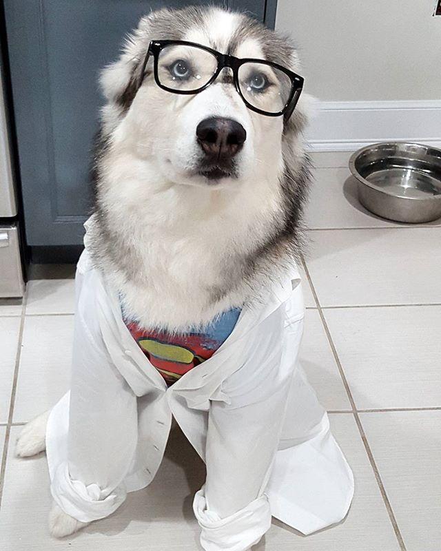 Siberian Husky Superdog Husky Costume Husky Husky Puppy