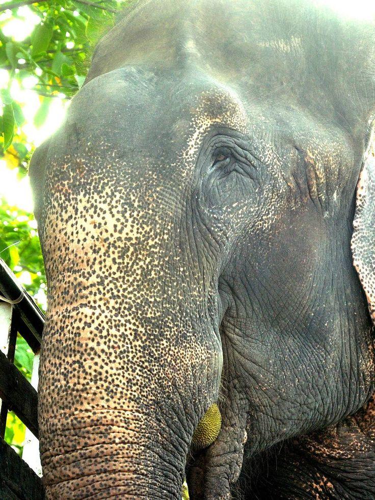 Raju the elephant.. look at his beautiful face..