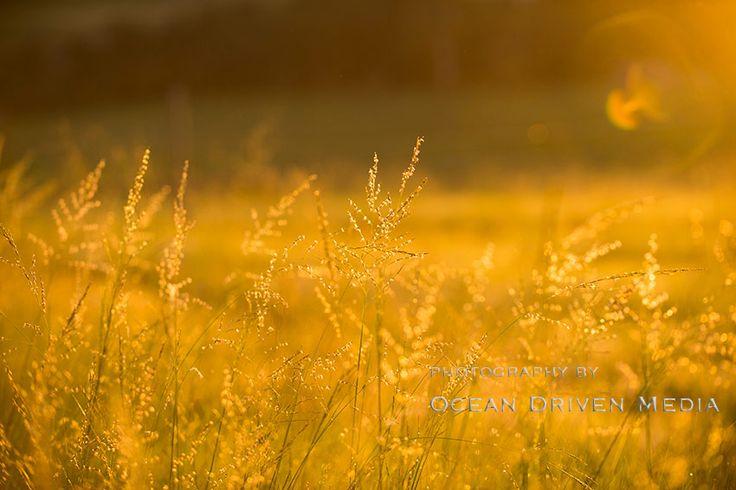 Long grass glistening in the morning sunshine
