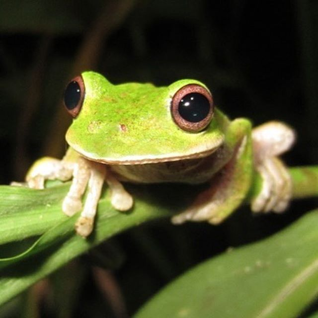Repost @kerrykriger ・・・ I will be playing music and talking about frogs live on Tabasco Hoy Radio 90.9 FM at 7pm Los Angeles time TONIGHT. You can listen by streaming from anywhere in the world at:  http://tabascohoyradio.com ...... Photo is Ecnomiohyla miotympanum – Small-eared treefrog This species lives in the Atlantic slopes of the Sierra Madre Oriental from central Nuevo Leon to central Veracruz, Mexico. Other populations occur in southern Veracruz, north-central Oaxaca and northern…