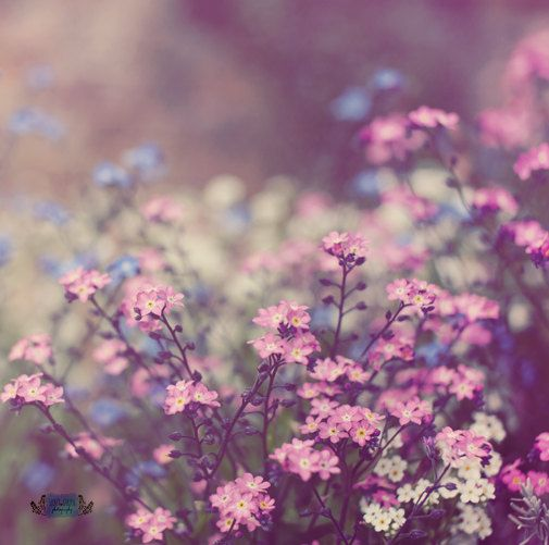 flower nature photo print - whimsical fine art nature photography, floral, forget me not, spring photo, pink, blue, pretty photo, wall art by secretgardentwo on Etsy