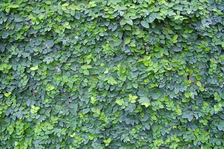 Ficus pumila or Tckey Creeper can attach itself to any porous surface and is an aggressive and beautiful vine. It climbs vertical surfaces and is also well-suited for use as a ground cover, in topi...