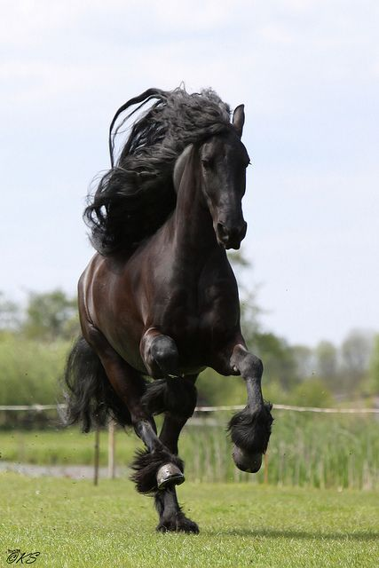 Gorgeous Royal Friesian.  Comment from another horse person:  Ask a stallion, tell a gelding, and negotiate with a mare.
