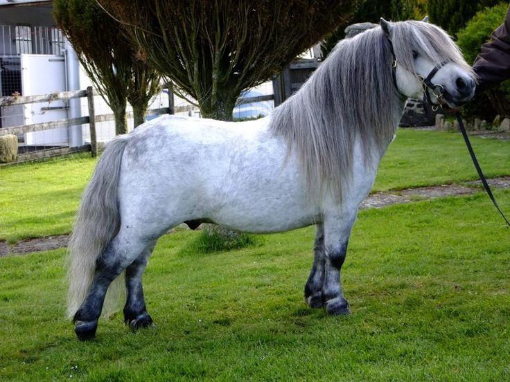 Shetland Pony stallion Halstock Claret