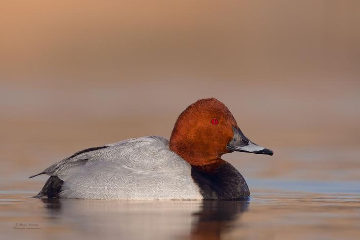 Aythya ferina (Common Pochard)
