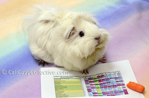 Abby-Roo inspects the nutrition chart | Cali Cavy Collective | Flickr