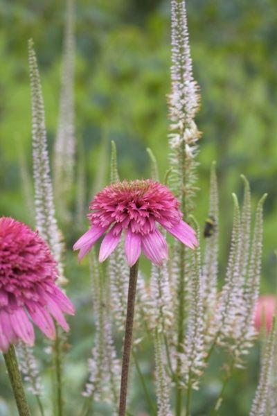 Purpursolhatt - Echinacea purpurea 'Pink Double Delight' - Garden Living