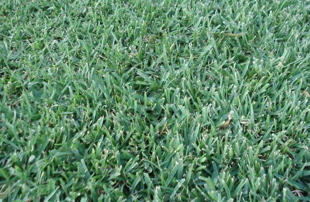 Sapphire Soft Leaf Buffalo - Warner Landscape & Garden Supplies