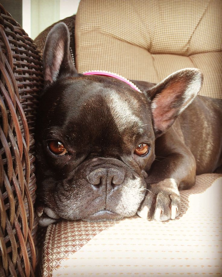 Hootie, the French Bulldog
