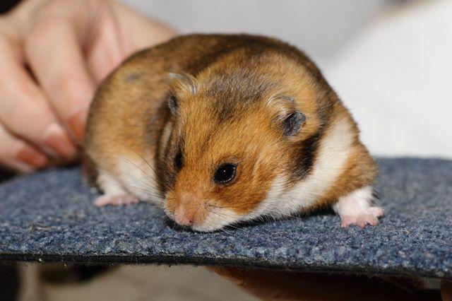 Goud/Gol Syrian Hamster