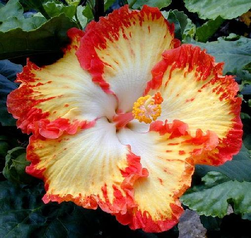 Fireball is a sport of Sun Shower - a natural, spontaneous genetic change of one branch that produces a new flower.