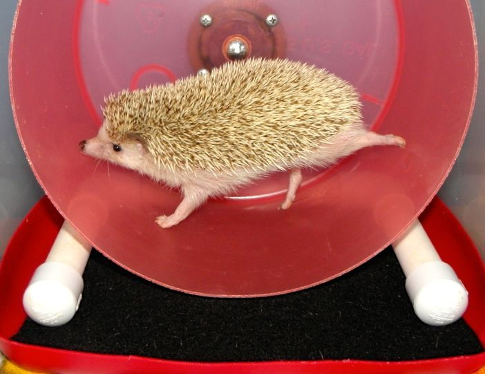 Hedgehogs Run A Marathon Every Night