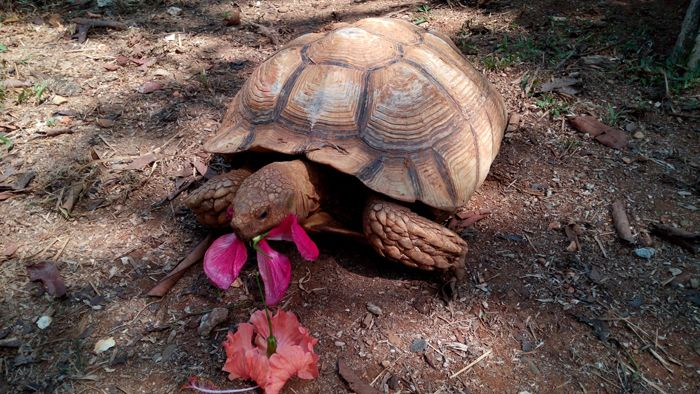 A giant African spur-thighed tortoise eats hibiscus leaves.  Parque Reptilandia: Komodo dragon, anaconda and tortoise, together at last.  #costarica #crsurf #reptilanda #tours #dominical #baru #reptiles