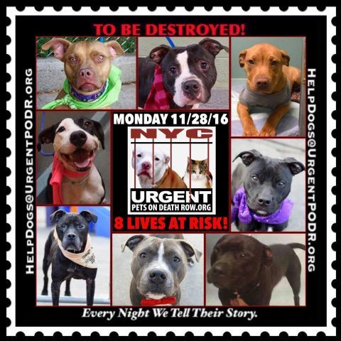 "8 BEAUTIFUL LIVES TO BE DESTROYED 11/28/16 @ NYC ACC **SO MANY GREAT DOGS HAVE BEEN KILLED: Puppies, Throw Away Mamas, Good Family Dogs. This is a HIGH KILL ""CARE CENTER"" w/ POOR LIVING CONDITIONS.  Please Share:    To rescue a Death Row Dog, Please read this: http://information.urgentpodr.org/adoption-info-and-list-of-rescues/"