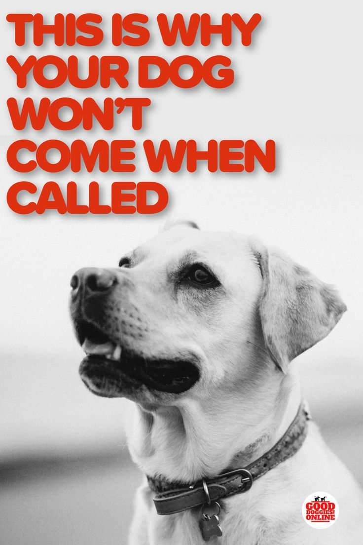 This Is Why Your Dog Won T Come When Called Dog Training Tips