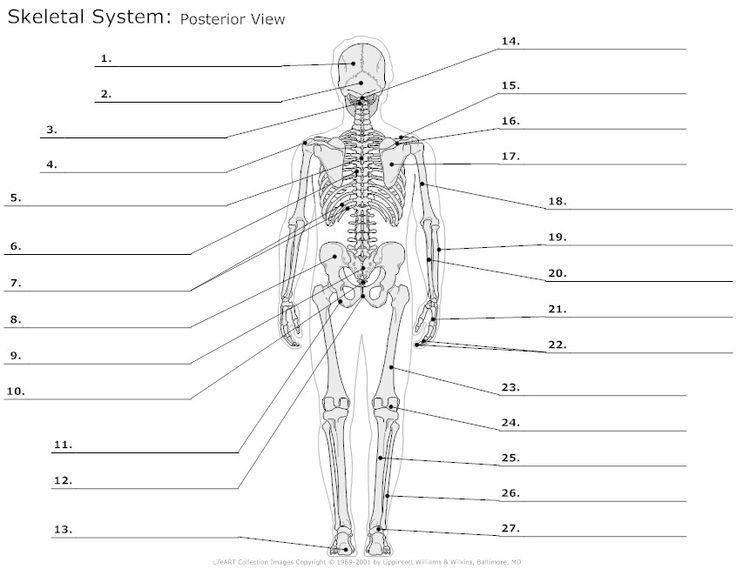 Skeleton Labeling Worksheet