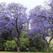 Jacaranda arbre qui pousse vite ouvert ou divergeant for Arbre qui pousse rapidement