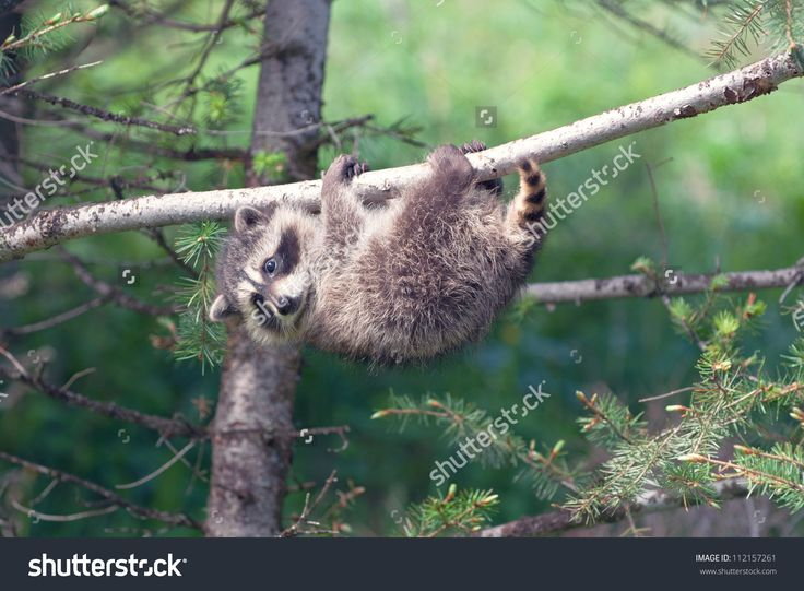 Image result for animal hanging upside down tree