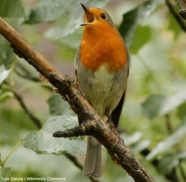 Les Britanniques n'arrivent généralement pas à identifier les chants des oiseaux | Par exemple, seuls 25 % des participants à un quiz sonore ont pu reconnaître le chant du Rougegorge familier (photo : Luis Garcia). #ornithologie #oiseaux #jardins #forêts #birding