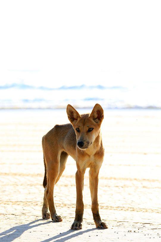 """Angel Eyes 1"" Fraser Island Dingo Puppy"