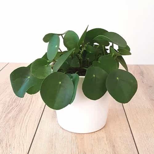 Chinese money plant Pilea peperomioides 12 cm – Plants