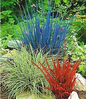 Ziergras Farb-Mischung,3 Pflanzen
