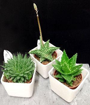 Aloe Vera -kasvit. Kukkakauppa Kukkahuone Meritorni, Kotka