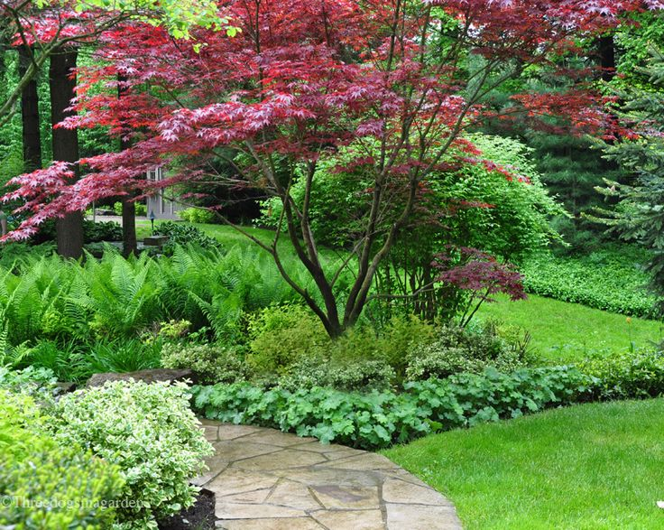 Japanese maple, path, and ferns