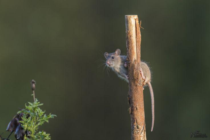 Bruine ratten zijn goede zwemmers, gravers en klimmers. Op deze foto is de rat handig in een  paal geklommen. Fotograaf: Elshout-Natuurfotografie  Bruine ratten kunnen zich goed aanpassen aan de omgeving. Ze eten wat er op dat moment voor handen is. Veranderingen in zijn leefgebied heeft de bruine rat meteen door.