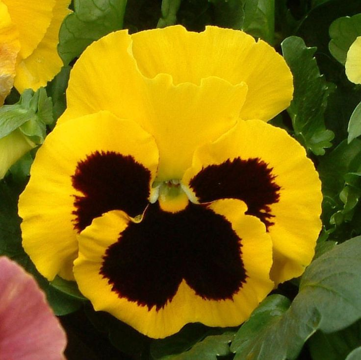 500 Pansy Seeds Character Yellow Face Buy Flower Seeds Online