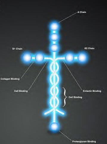 "This is Laminin. The molecule, Laminin is the protein that holds human beings together. Do you notice its shape? Isn't it amazing that God would think so far in the future, and make the very thing that makes us think of Jesus, make up and play a crucial role in how we are formed? God formed you to not only live as an image of Christ, but to never escape the fact that you are HIS! We are branded by the Cross! ""He is before all things, and in him all things hold together"" Colossians 1:17"