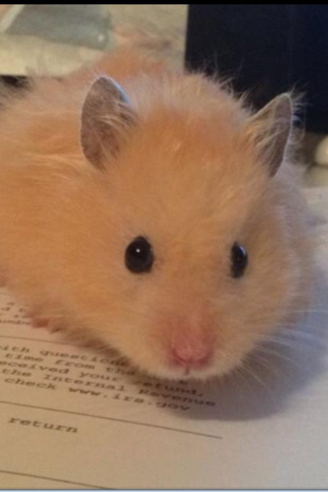 Charlie. Long-haired Teddy Bear Hamster. So cute he should be in a commercial
