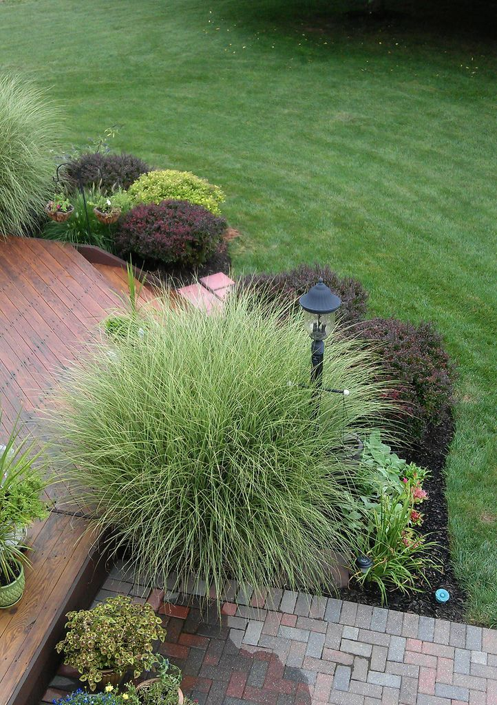 My ornamental grasses fill my backyard because they are so for Easy to grow ornamental grasses