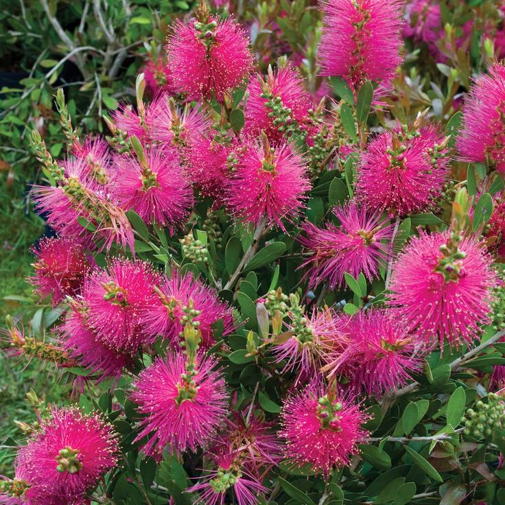 Bottlebrush flowering evergreen | Flowers All Other Seeds & Plants Shrubs & Roses Callistemon viminalis ...