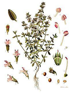A kerti kakukkfűről készült illusztráció