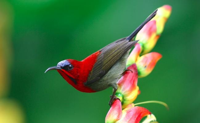 Penjelasan Burung Kolibri Ciri Fisik, Karakter dan Suara Kicauannya