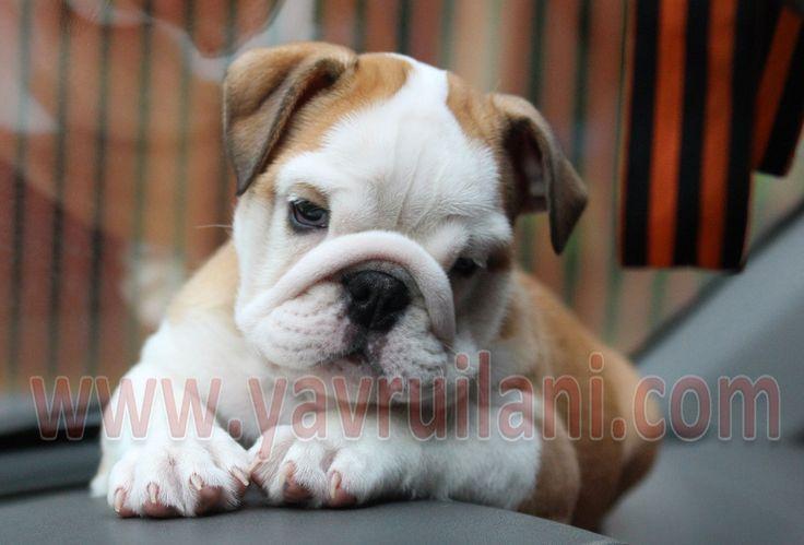 Satılık İngiliz Bulldog http://english-bulldog.yavruilani.com/satilik-ingiliz-bulldog/