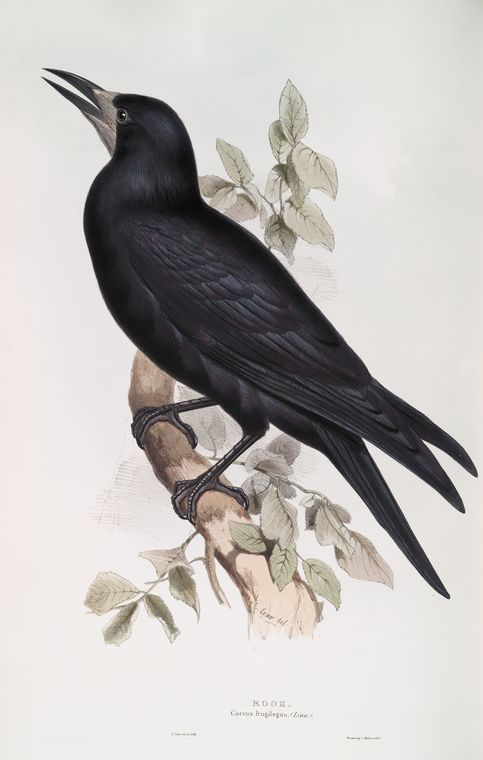 Rook (Corvus frugilegus). 1837. From New York Public Library Digital Collections.
