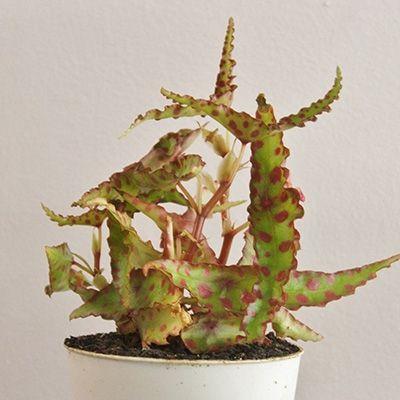 Begonia amphioxus - New!