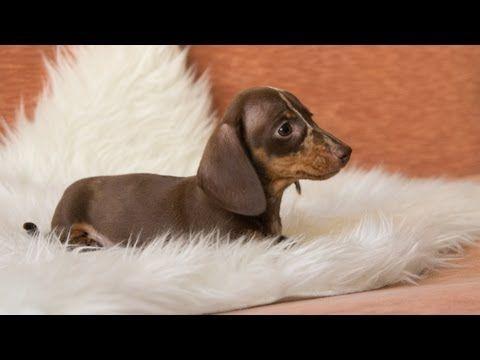 Hilarious Dachshund on Holiday - YouTube